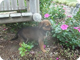 Shepherd (Unknown Type)/Beagle Mix Puppy for adoption in Rocky Mount, North Carolina - Rasia