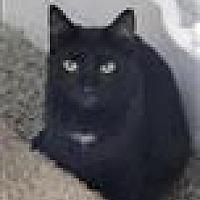 Domestic Shorthair Cat for adoption in Freeport, New York - Tres