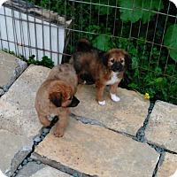 Adopt A Pet :: Chloe & Emma - Denver, IN