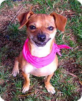 Chihuahua Mix Dog for adoption in El Cajon, California - Rosita