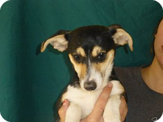 Beagle/Rat Terrier Mix Puppy for adoption in Oviedo, Florida - Sara