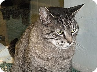 Domestic Mediumhair Cat for adoption in Huntington, New York - Simba Sue