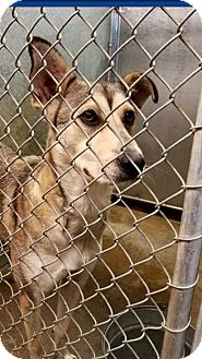 Husky/Shepherd (Unknown Type) Mix Dog for adoption in Zanesville, Ohio - Shadow - ADOPTED!