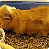 Guinea Pig for adoption in Chambersburg, Pennsylvania - Teddy
