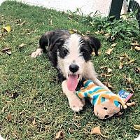 Adopt A Pet :: Chianti - Danbury, CT