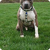 Adopt A Pet :: Shorty - Flat Rock, MI