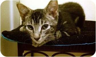 Domestic Shorthair Cat for adoption in San Ramon, California - Jaime