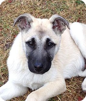 German Shepherd Dog Mix Puppy for adoption in Torrance, California - ERNIE