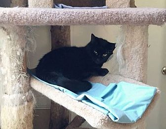 Domestic Shorthair Cat for adoption in Middletown, New York - Condaleeza Mice