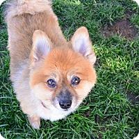 Adopt A Pet :: Foxy - Meridian, ID