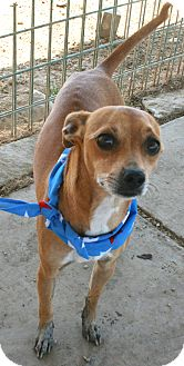 Whippet/Chihuahua Mix Dog for adoption in Pilot Point, Texas - LUCAS