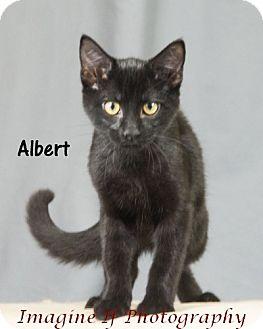 Domestic Shorthair Cat for adoption in Oklahoma City, Oklahoma - Albert