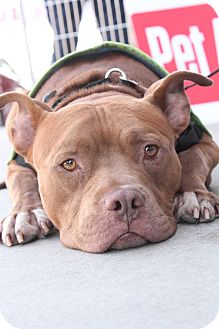 American Staffordshire Terrier/Pit Bull Terrier Mix Dog for adoption in Los Angeles, California - Otto