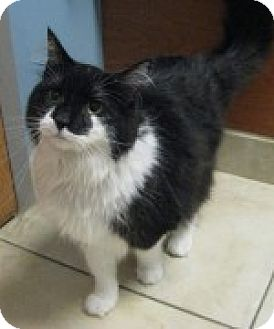 Domestic Longhair Cat for adoption in McHenry, Illinois - Percy