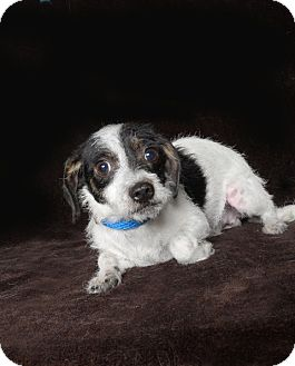 Terrier (Unknown Type, Small)/Chihuahua Mix Dog for adoption in Van Nuys, California - Badger