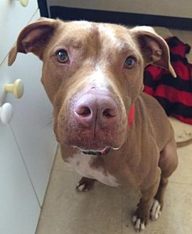 American Staffordshire Terrier/Labrador Retriever Mix Dog for adoption in Dana Point, California - Layla