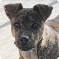 Adopt A Pet :: Chandler- Adoption pending! - Hooksett, NH