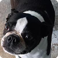 Adopt A Pet :: Lulu Belle - Joplin, MO