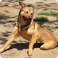 Adopt A Pet :: Sadie (50 lb) GREAT Family Pet - SUSSEX, NJ
