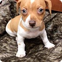 Adopt A Pet :: Helix - Weston, FL