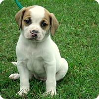 Adopt A Pet :: Ameila - Waterbury, CT