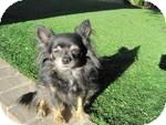 Chihuahua Dog for adoption in Gilbert, Arizona - Zoey