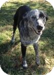 Australian Cattle Dog Mix Dog for adoption in Manchester, Connecticut - cow girl  ADOPTION PENDING