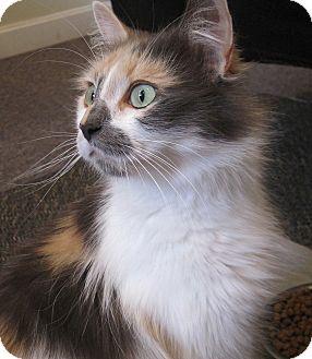Calico Cat for adoption in N. Billerica, Massachusetts - Cinema