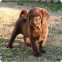 Adopt A Pet :: Angel-Puppy Choco Male Biggest - Altmonte Springs, FL