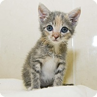 Adopt A Pet :: Antoinette - New York, NY