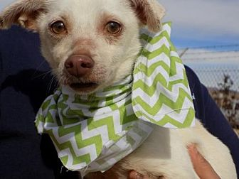 Chihuahua Mix Dog for adoption in Apple Valley, California - Georgie