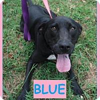 Adopt A Pet :: Blue - Batesville, AR