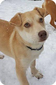 Labrador Retriever/Corgi Mix Puppy for adoption in Burlington, Vermont - Cayo