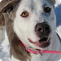 American Pit Bull Terrier Mix Dog for adoption in Windsor, Virginia - Apple