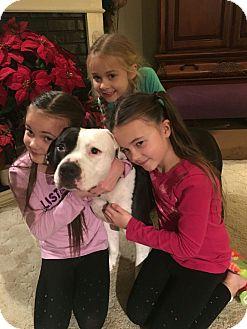 American Bulldog/American Pit Bull Terrier Mix Dog for adoption in Sacramento, California - Dozer, loves children!