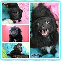 Adopt A Pet :: Skunk - Phoenix, AZ