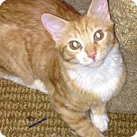 Adopt A Pet :: Figaro - Alhambra, CA