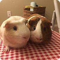 Guinea Pig for adoption in Grand Rapids, Michigan - Olaf & Blaze