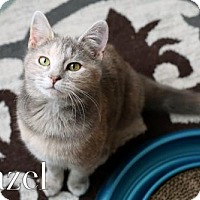 Adopt A Pet :: Hazel Female Kitten - knoxville, TN