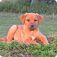 Boxer Mix Puppy for adoption in Bedminster, New Jersey - TRIPP