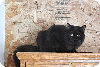 Domestic Longhair Cat for adoption in Rawlins, Wyoming - Black Jack