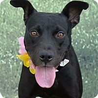 Adopt A Pet :: Sheena - Hollywood, FL