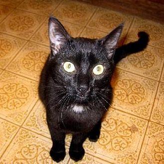 Domestic Shorthair Cat for adoption in San Jose, California - GAP-Munchies