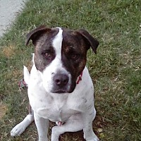 Akita/Pit Bull Terrier Mix Dog for adoption in San Diego, California - Tiger