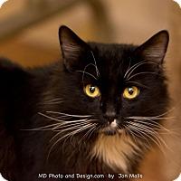 Adopt A Pet :: Mittens - Fountain Hills, AZ