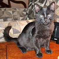 Adopt A Pet :: Gene Simmons - St. Louis, MO