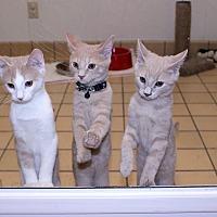 Adopt A Pet :: Baby Girl's Kittens - Lumberton, NC