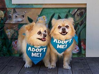 Pekingese/Pomeranian Mix Dog for adoption in Pacific Grove, California - Sampson Pom