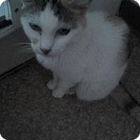 American Shorthair Cat for adoption in Medford, New York - Velma