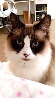 Ragdoll Cat for adoption in Beverly Hills, California - Birdie